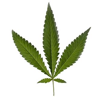 Cannabis Ruderalis Blatt