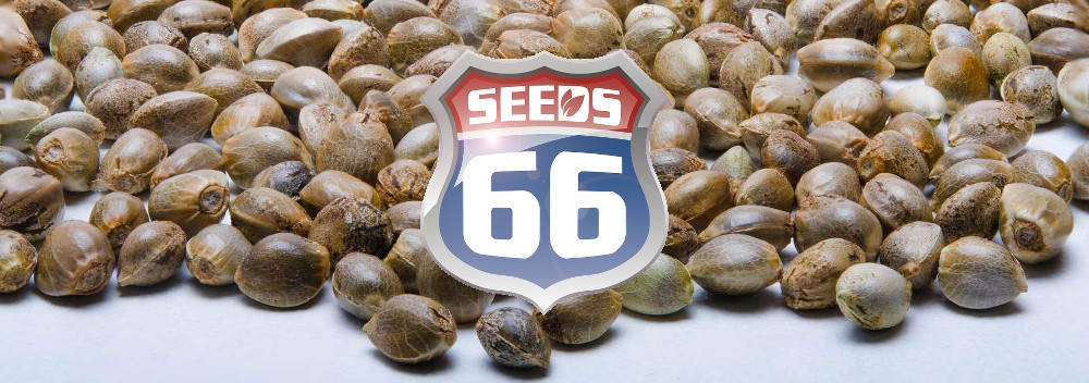 Hanfsamen_Shop_Seeds66_Logo