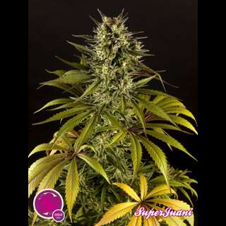 SuperJuani Feminised Seeds