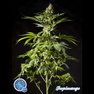 Tropimango - Philosopher Seeds