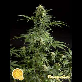 Cheesy Auto Feminised Seeds