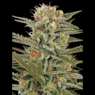 Original Amnesia Feminised Seeds