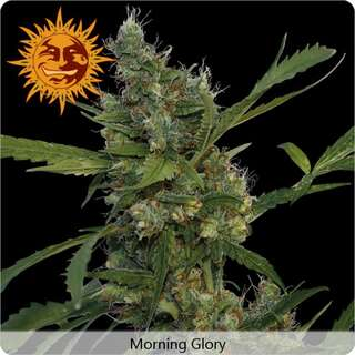 Morning Glory - Barneys Farm