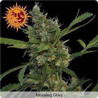 Morning Glory Feminised Seeds