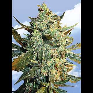 Power Skunk Feminised Seeds