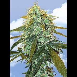 Skunk #1 Feminised Seeds