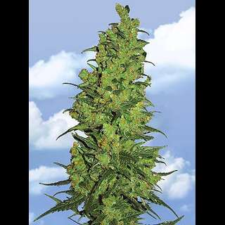 Temple Haze Feminised Seeds