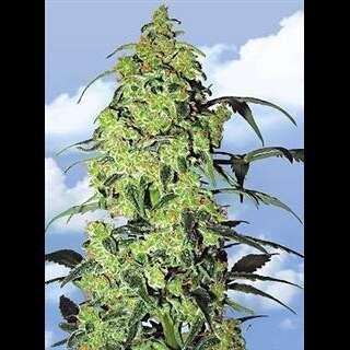White Widow Feminised Seeds Flying Dutchmen