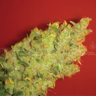 Jack La Mota Feminised Seeds