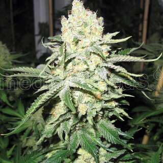 No Name Feminised Seeds