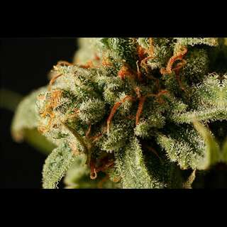 Sweet Deep Grapefruit - Dinafem