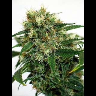 Phatt Fruity Feminised Seeds