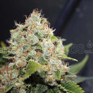 Sour Diesel Feminised Seeds 5 Seeds