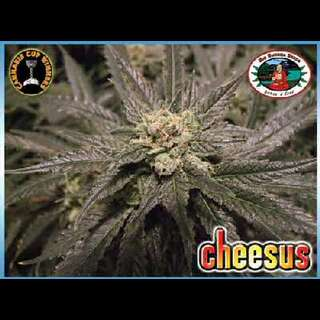 Cheesus - Big Buddha Seeds