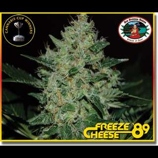 Freeze Cheese 89 Feminisierte Samen 5 Seeds