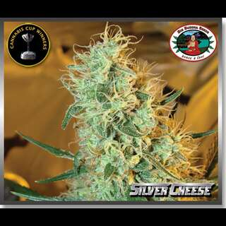 Silver Cheese Feminised Seeds 5 Seeds