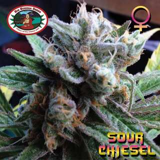 Sour Chiesel Feminised Seeds 5 Seeds