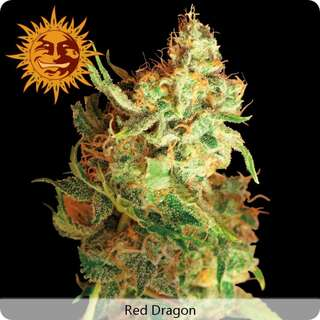 Red Dragon Feminisierte Samen 5 Seeds