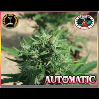 AUTOMATIC Feminised Seeds