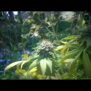 Brains Choice Feminised Seeds - 5 Seeds