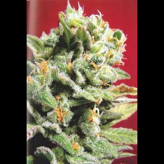 Cristal Limit Feminised Seeds - 5 Seeds