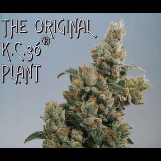 KC 36 Feminised Seeds - 5 Seeds