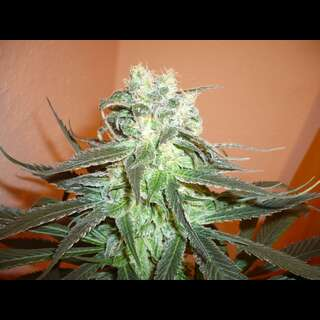 Mango Feminised Seeds - 5 Seeds