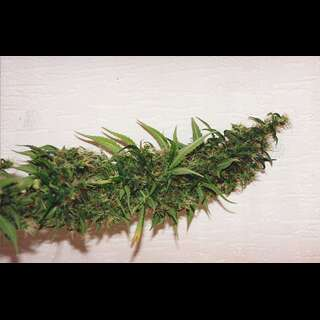 Swiss XT Feminised Seeds - 5 Seeds