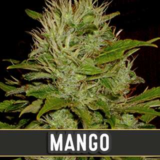 Mango from Blimburn Seeds