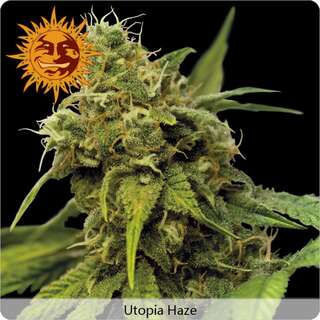 Utopia Haze - Barneys Farm