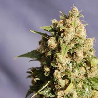 Queso Feminised Seeds