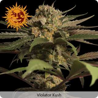 Violator Kush - Barneys Farm