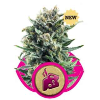 Blue Cheese Feminised Seeds Royal Queen Seeds