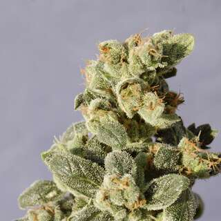 Gnomo Automatic Feminised Seeds