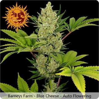Blue Cheese Auto - Barneys Farm