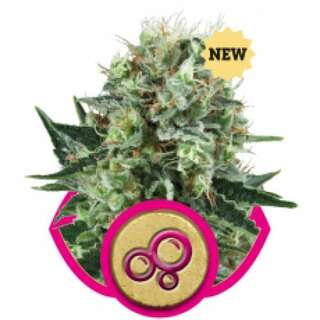 Bubble Kush Feminised Seeds 3 Seeds