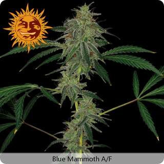 Blue Mammoth Auto - Barneys Farm