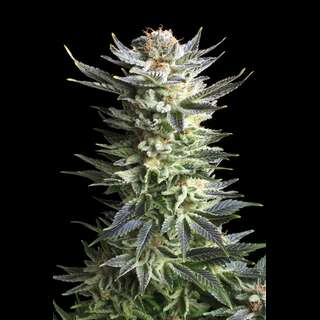 Fruit Spirit Feminised Seeds