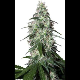 Pulsar Feminised Seeds
