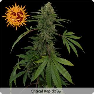 Critical Rapido Auto - Barneys Farm
