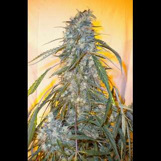 Annapurna SuperAuto Feminised Seeds - 3 Seeds