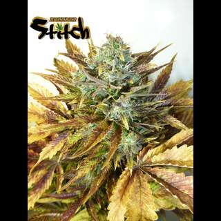 Purple Sirius Kush Auto - Flash Seeds - 3 Seeds