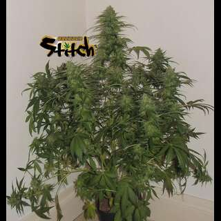 Russian Fuel Auto - Flash Seeds - 3 Samen