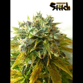 Stardust Auto - Flash Seeds - 3 Seeds
