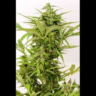 Auto Mass Feminised Autoflowering Seeds