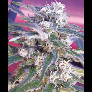 O.G. Kush - Royal Queen Seeds