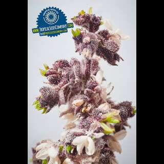 Kushmatic - Tropical Seeds - 6 Samen