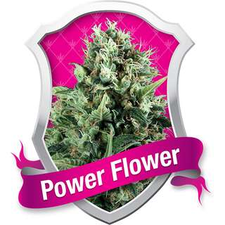 Power Flower - Royal Queen Seeds