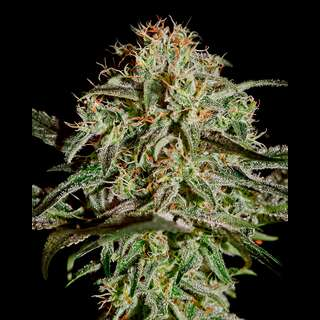 A.M.S. Feminised Seeds