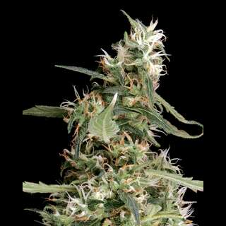 Arjans Ultra Haze #1 - Greenhouse Seeds